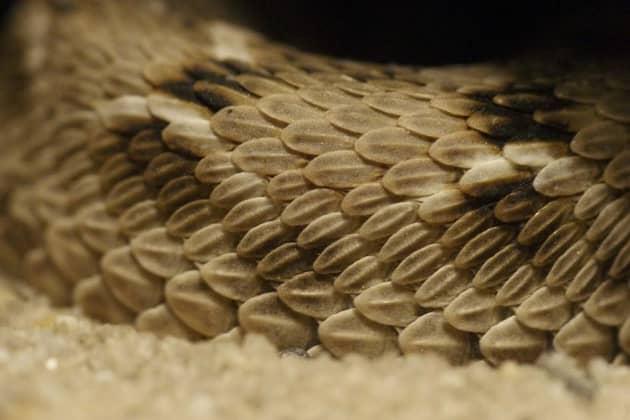 Фотография чешуек песчаной эфы