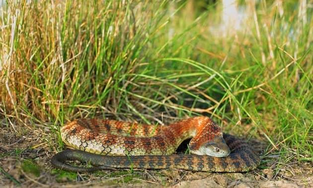 Фотография взрослой тигровой змеи