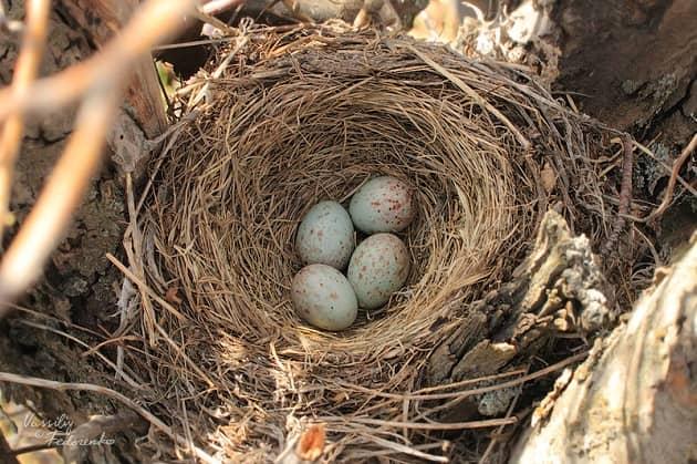 Фотография кладки яиц и гнезда дерябы