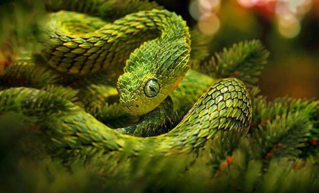 Фотография колючей кустарниковой гадюки