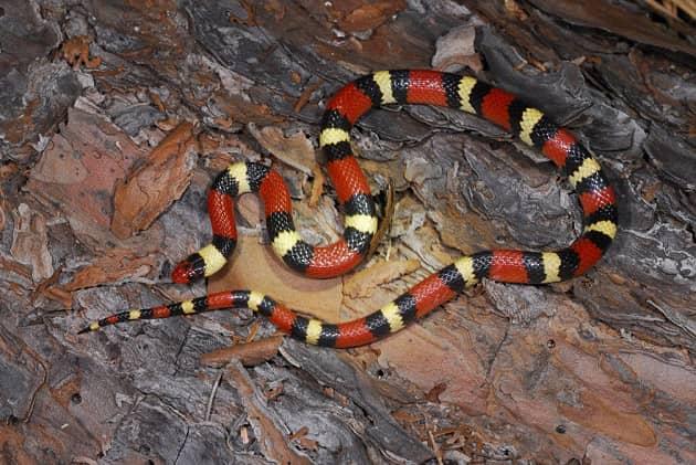 Фотография королевской молочной змеи