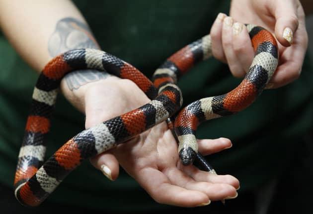 Молочная змея в руках человека
