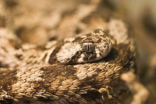 Фотография ядовитой змеи эфы