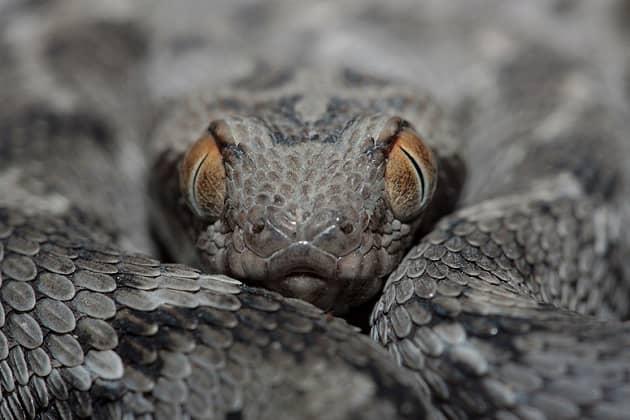 Фотография змеи песчаная эфа