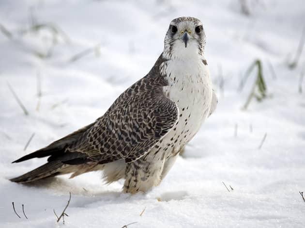 Фотография птицы балобан