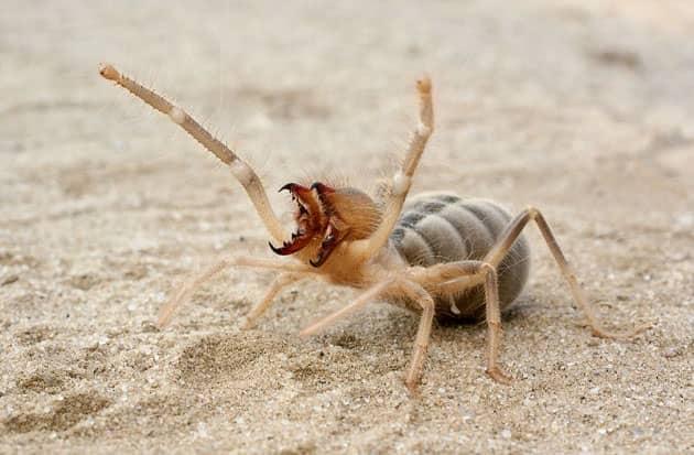 Фотография самки паука фаланги