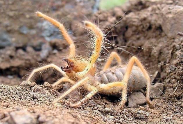 Фотография паука сольпуга