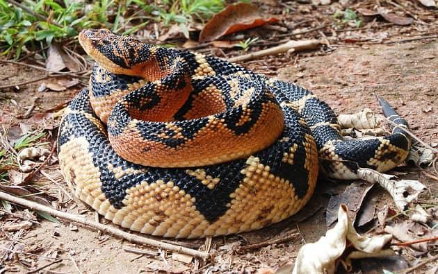 змея сурукуру из лесов Южной Америки