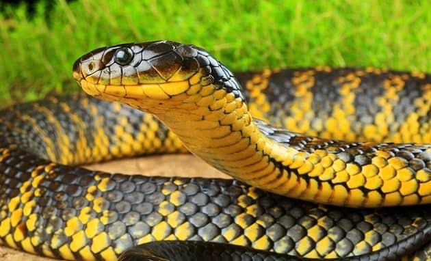 Фотография тигровой змеи