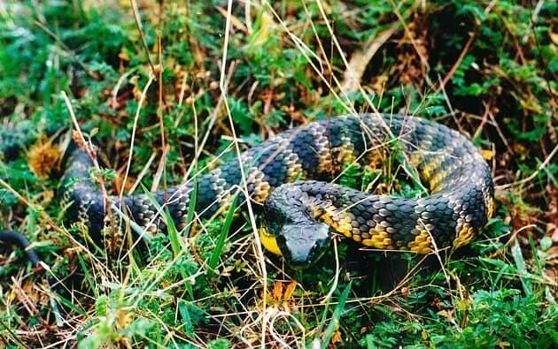Тигровая змея сидит в засаде