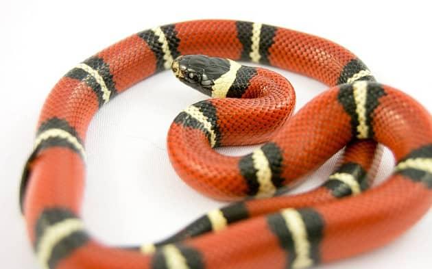 Фотография взрослой королевской змеи