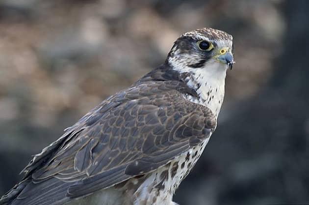 Фотография взрослой птицы балобан