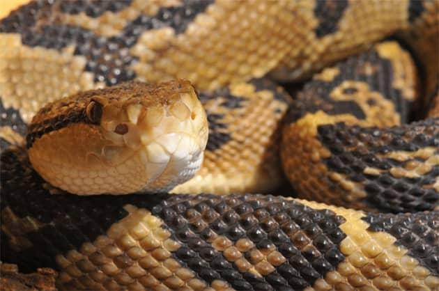 опасная змея с сильным ядом