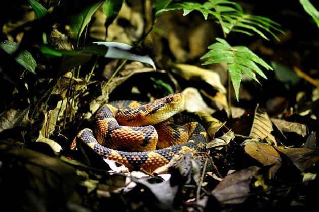 фото змеи сурукуку