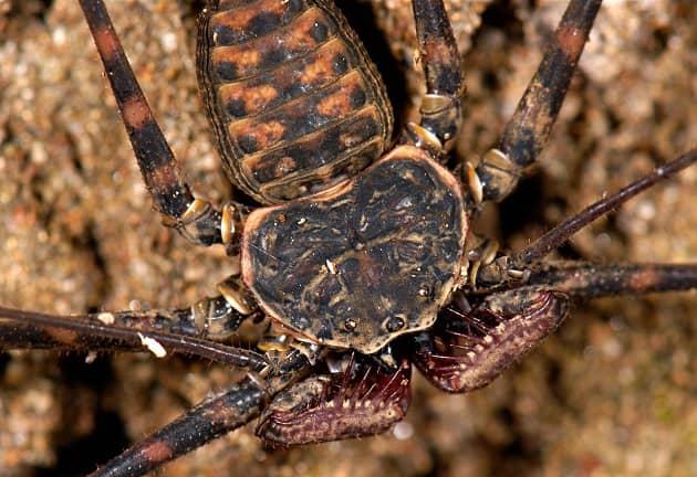 Фотография паука amblypygi