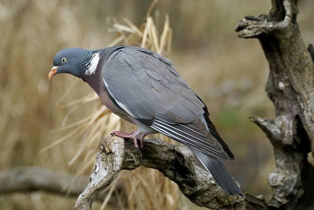 голубь columba palumbus на дереве