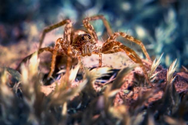 Фотография паука-волка