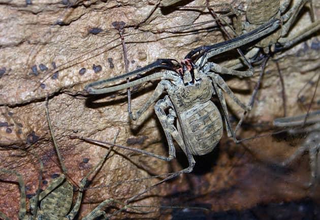 Фотография паука фрина