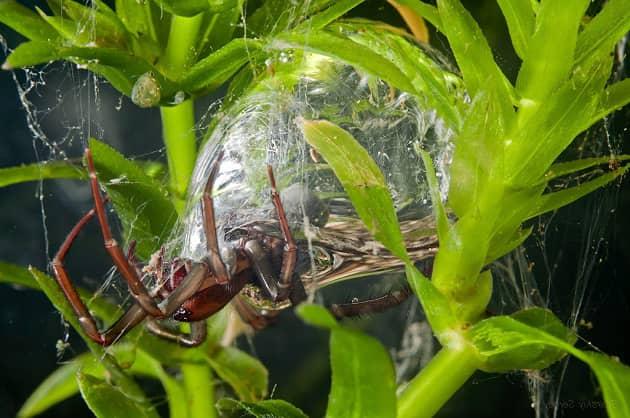 Фотография паука серебрянки