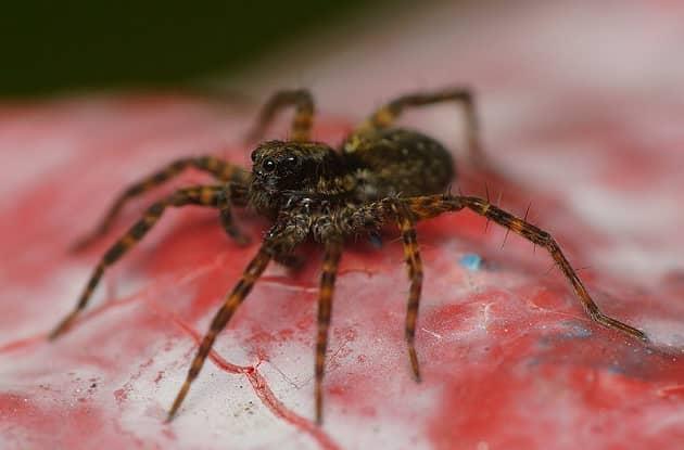 Фотография маленького паука-волка