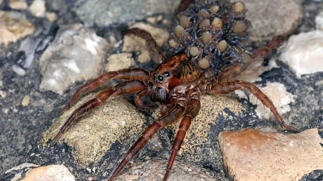 Самка паука-волка с детенышами на спине
