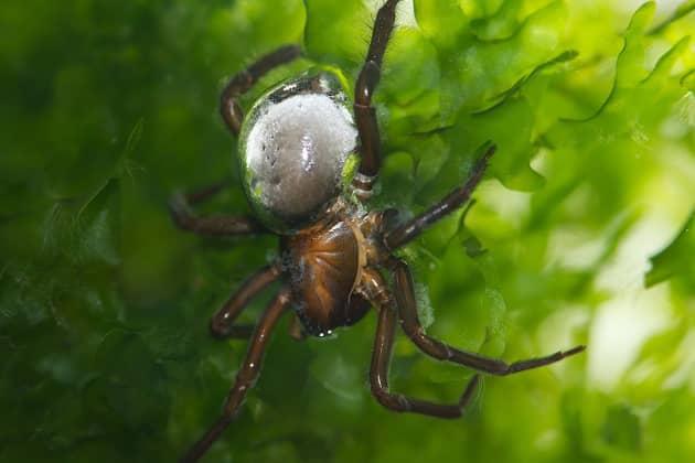 фото паука серебрянки в воде
