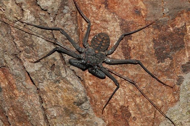 Фотография взрослого паука фрина