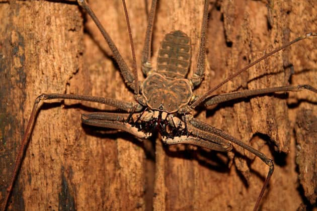 Фотография жгутоногого паука