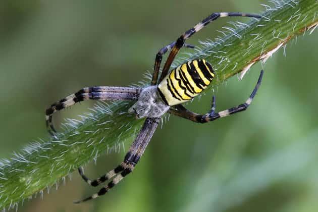 Фотография паука Аргиопы Брюннихи