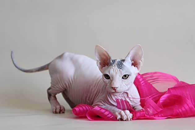 Молодой кот петербургского сфинкса