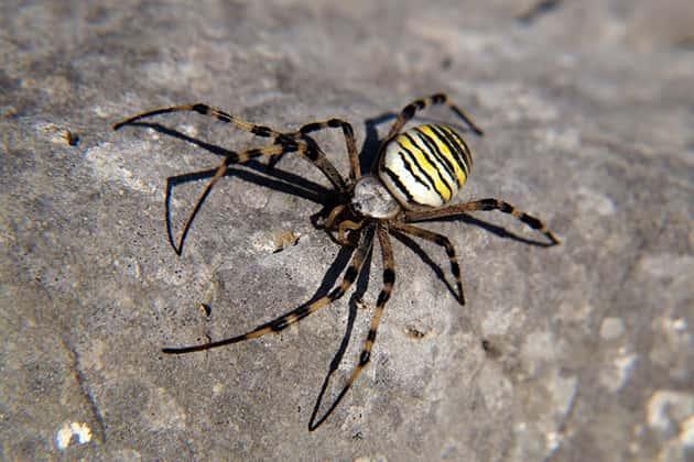 Тело паука-осы