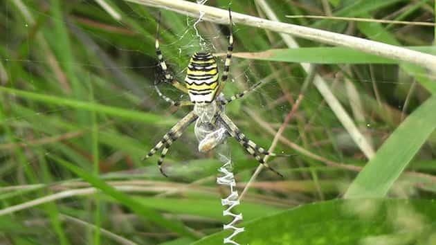 Зигзаг на паутине паука-осы